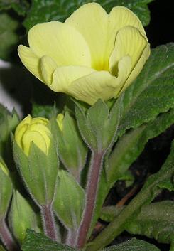 Què hi ha dins les closes flors nocturnes?